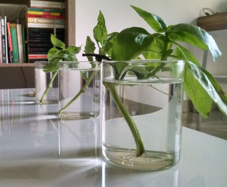 basil-roots